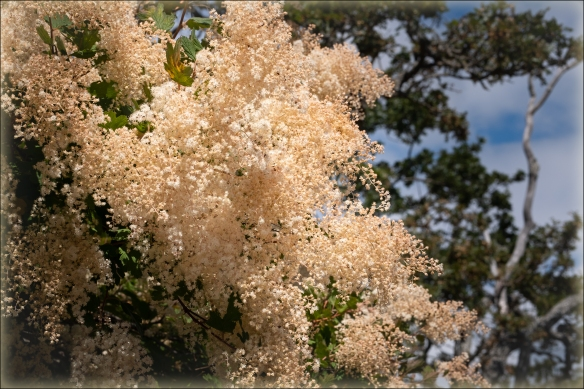Oceanspray blooms - starting to age